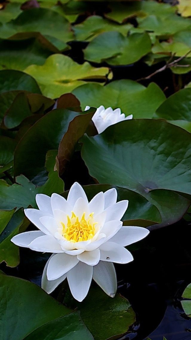 White Lotus Flower: Meaning and Symbolism - Mythologian.Net |White Lotus Flowers In Water